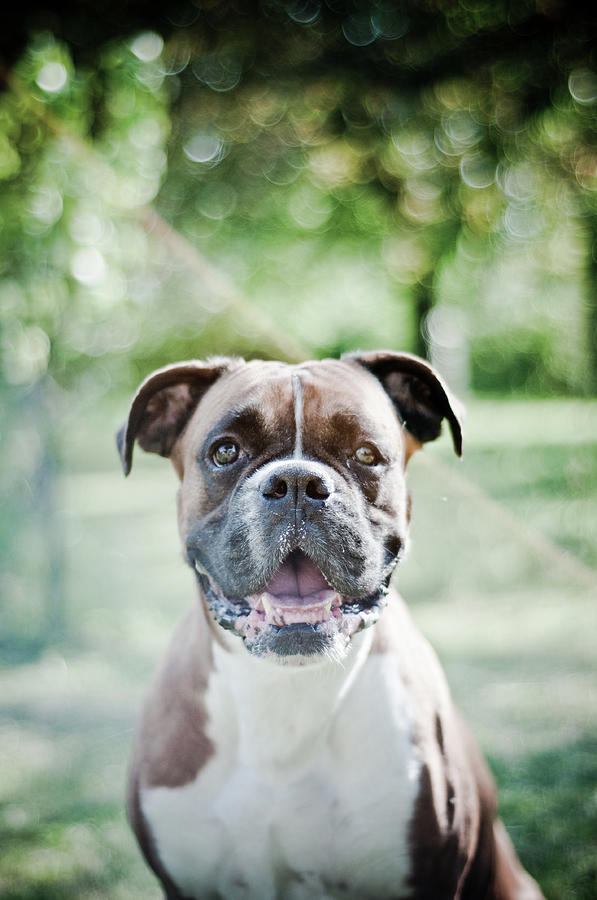 Boxer Dog Breed Photograph by Yanis Ourabah