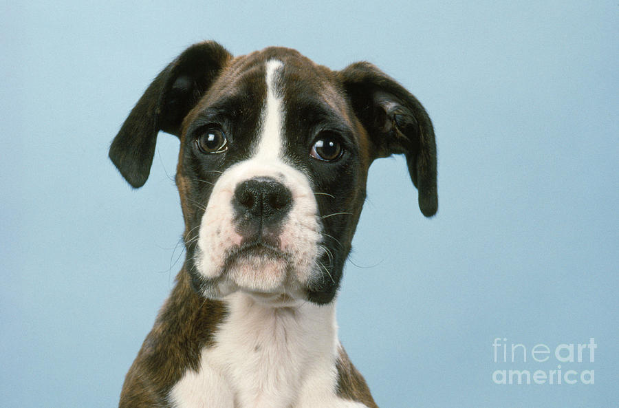 Boxer Photograph - Boxer Dog, Close-up Of Head by John Daniels