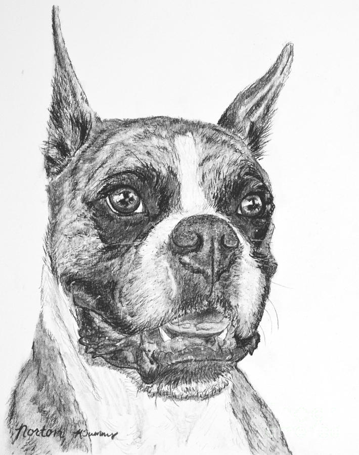 Boxer Dog Sketch Drawing By Kate Sumners
