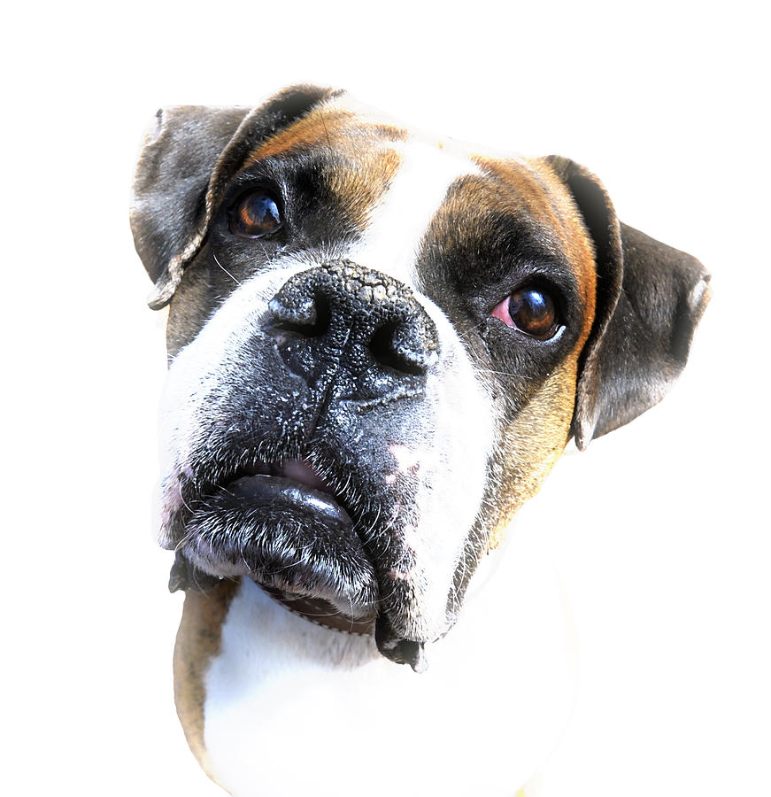 Animal Photograph - Boxer Expression by Susan Leggett