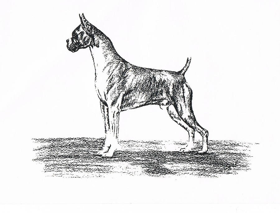 Boxer Drawing - Boxer by Joann Renner