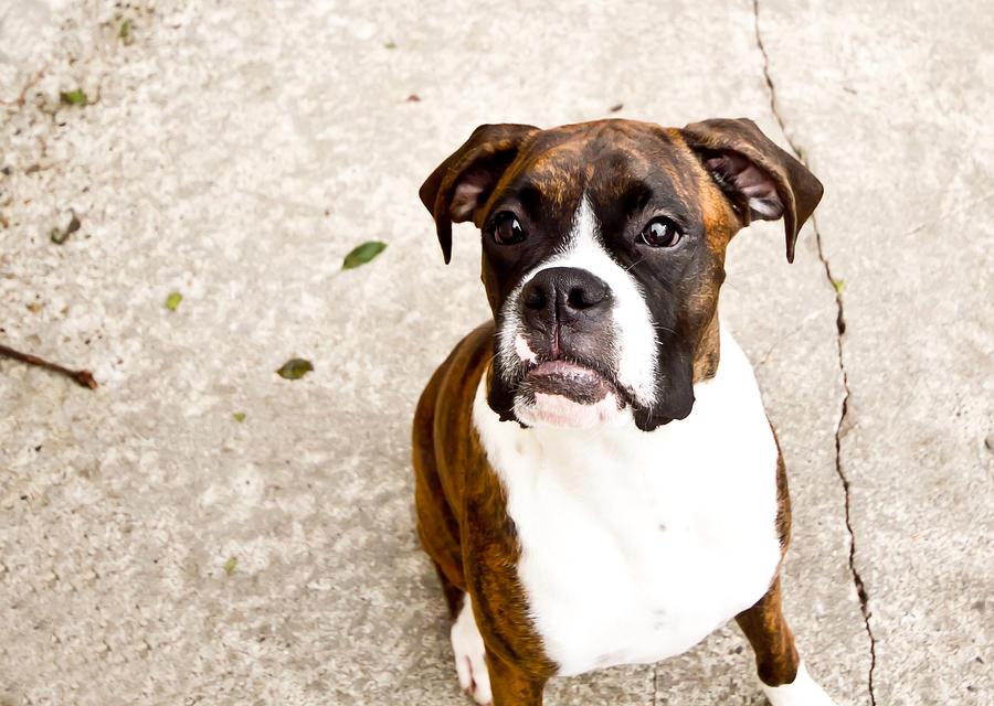 Dog Photograph - Boxer by Paulina Szajek