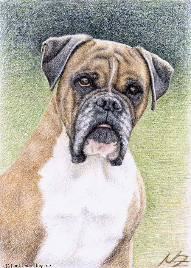 Dog Drawing - Boxer Portrait by Nicole Zeug