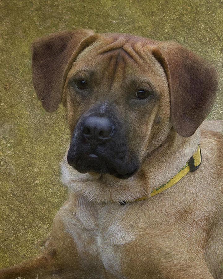 Boxer Photograph - Boxer Puppy by Karen Morang
