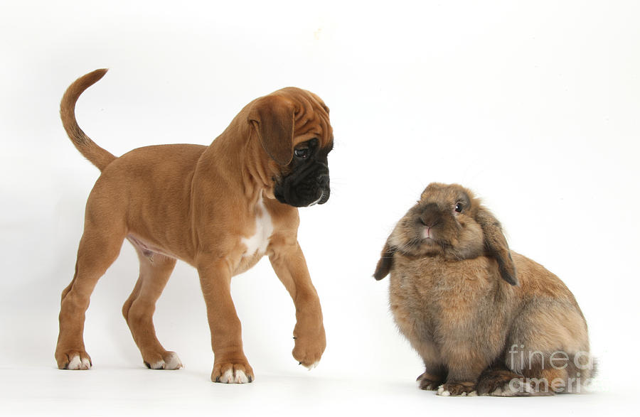 Nature Photograph - Boxer Puppy With Lionhead-lop Rabbit by Mark Taylor