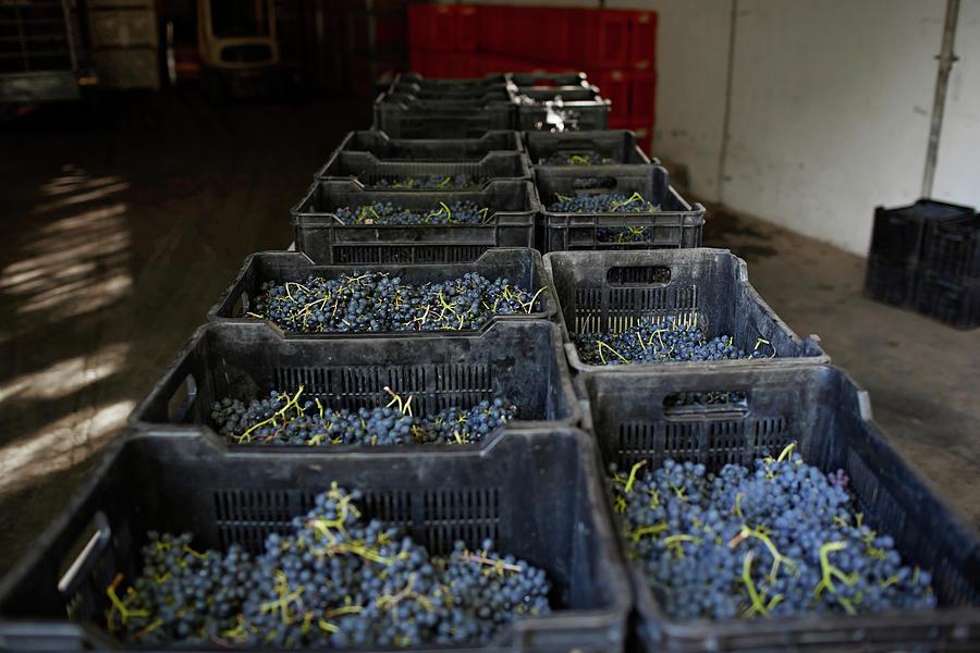 Boxes Of Petit Verdot Grapes Photograph by Klaus Vedfelt