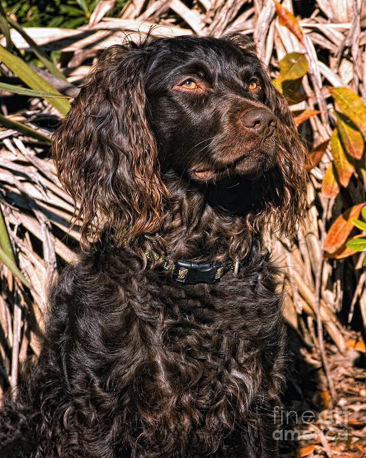 Boykin Spaniel Photograph - Boykin Spaniel Portrait by Timothy Flanigan