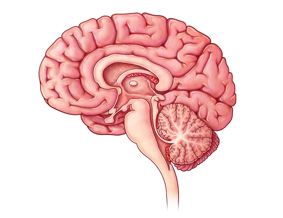 Brain Diagram Back Free Wiring Diagram For You