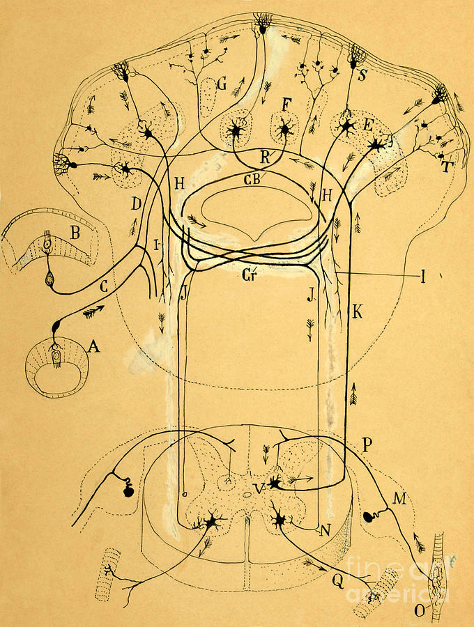Drawing Photograph - Brain Vestibular Sensor Connections By Cajal 1899 by Science Source