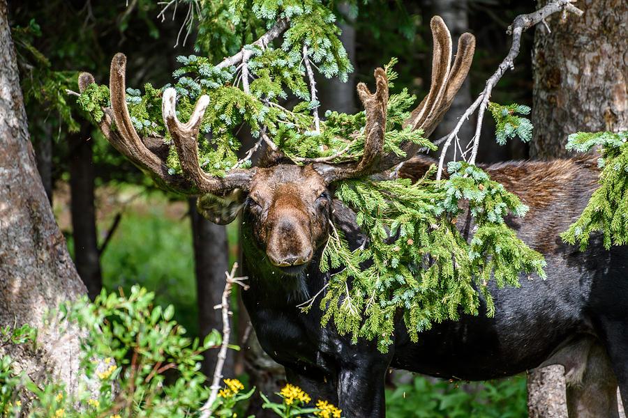Moose Photograph - Brainard Lake Moose by Robert Yone