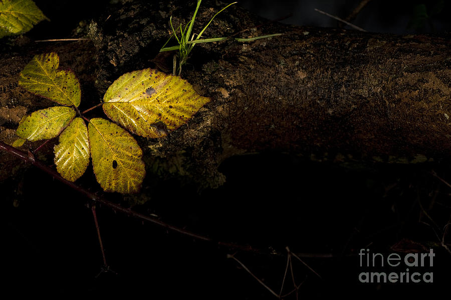 Natural Photograph - Bramble Tree by Anne Gilbert