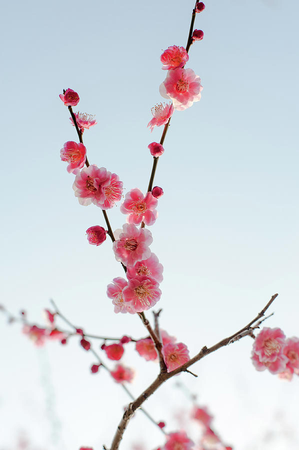 Branch Of Plum Photograph by Toshiro Shimada