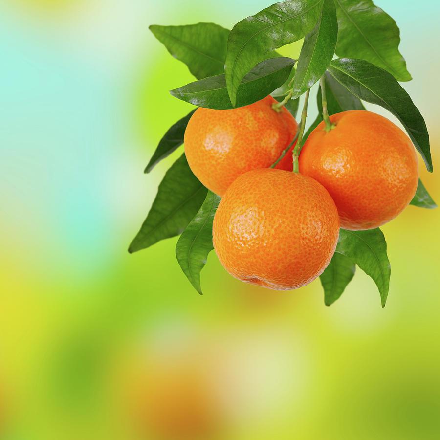Branch Of Tangerines Photograph by Sashahaltam