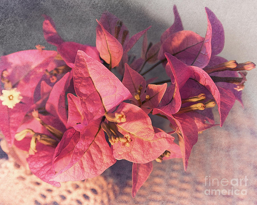 Bougainvillea Photograph - Branch With Bougainvillea Flowers  by Sviatlana Kandybovich