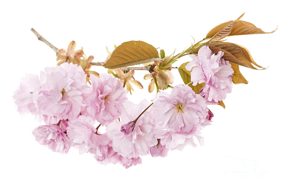 Cherry Photograph - Branch With Cherry Blossoms by Elena Elisseeva