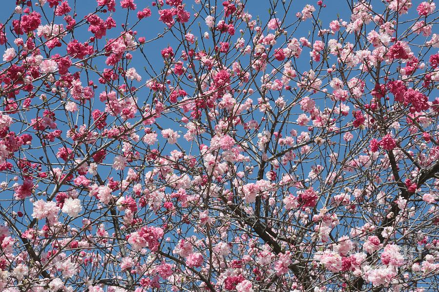Spring Blossoms Photograph - Branches And Blossoms by Carol Groenen