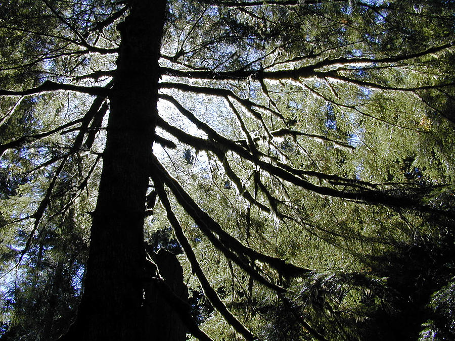Washington State Photograph - Branches Hold Light by Tom Trimbath