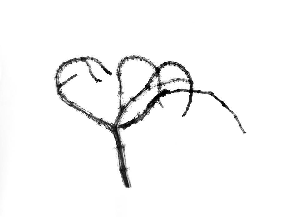 Plant Photograph - Branching Plant Stem by Albert Koetsier X-ray