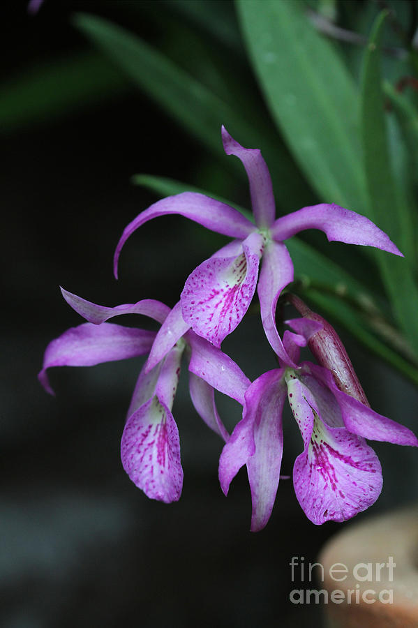Orchid Photograph - Brassanthe Maikai Orchid by Judy Whitton