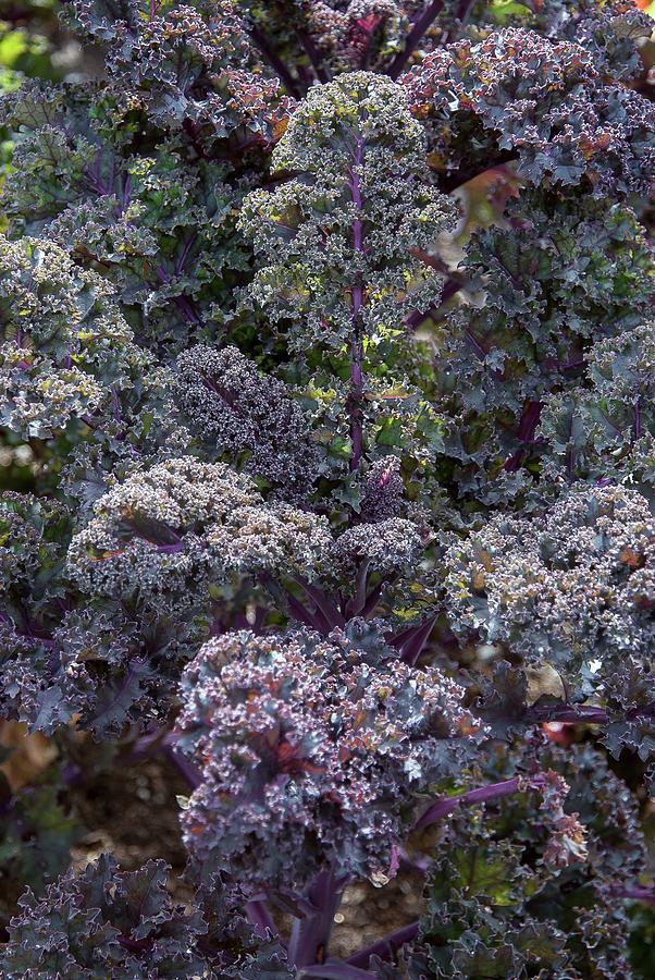 Plant Photograph - Brassica Oleracea Acephala redbor by Adrian Thomas/science Photo Library