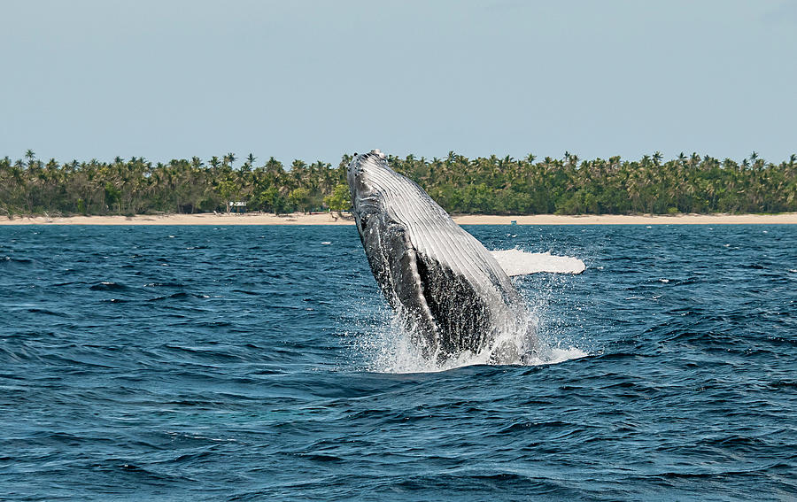 Breach In Front Of Uoleva Photograph by By Wildestanimal