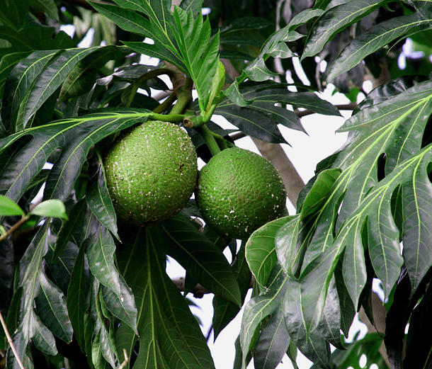 Plant Food Photograph - Breadfruit by  George Griffiths