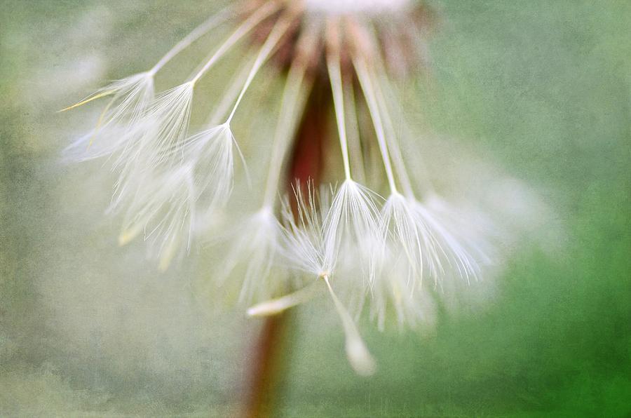 Dandelion Photograph - Break Away by Fraida Gutovich