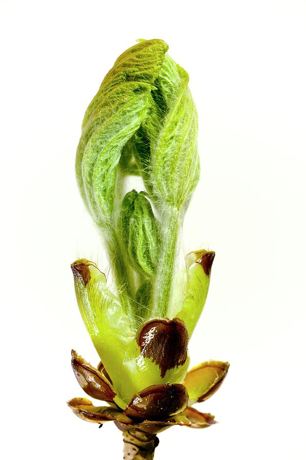 Horse Chestnut Photograph - Breaking Bud Of Aesculus Hippocastanum by Dr Jeremy Burgess