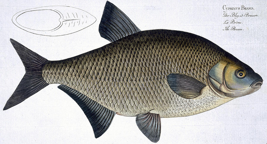 Fish Painting - Bream by Andreas Ludwig Kruger