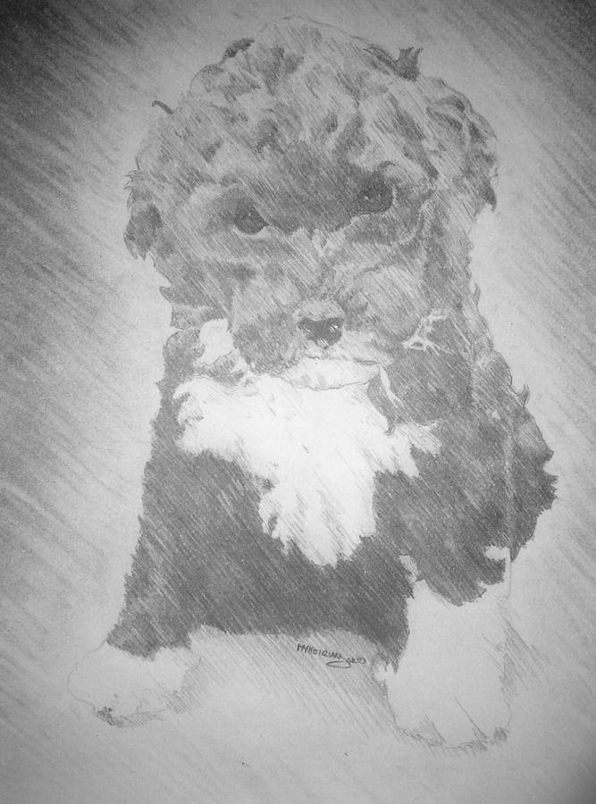 Black And White Drawing - Breezy the Portugues water dog puppy by Myke  Irving