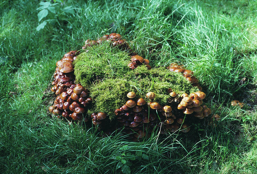 Tuft Photograph - Brick Cap Mushrooms by Dr Jeremy Burgess/science Photo Library