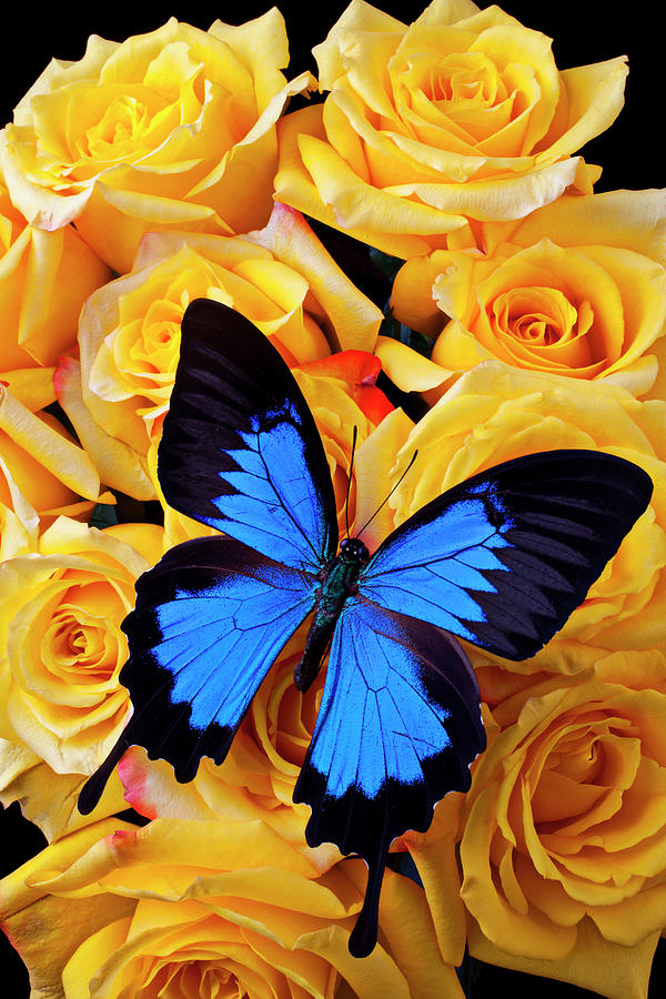 Bright Blue Butterfly On Yellow Roses Photograph by Garry Gay