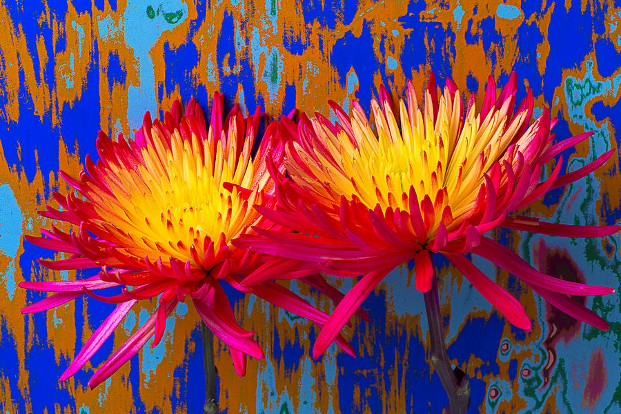 Two Photograph - Bright Colorful Mums by Garry Gay