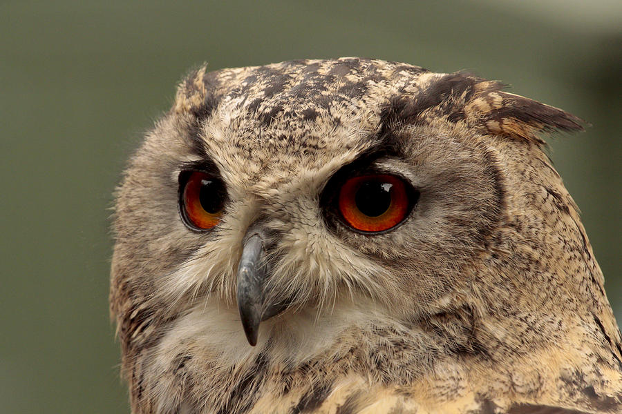 Eagle Photograph - Bright Eyed Eagle Owl  by Simon Gregory