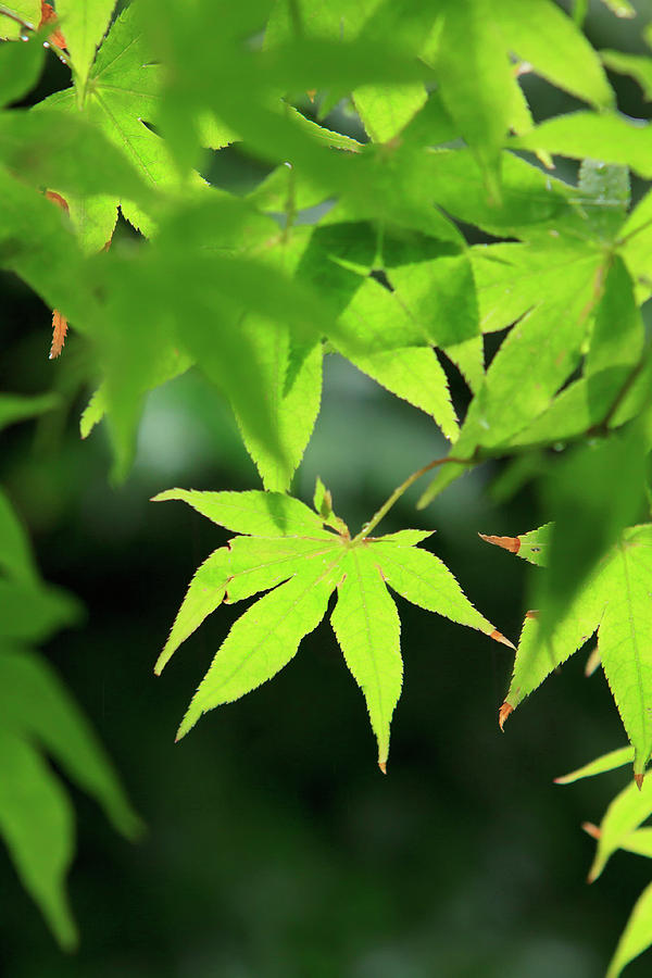 Ancient Photograph - Bright Green Japanese Maple Trees by Paul Dymond