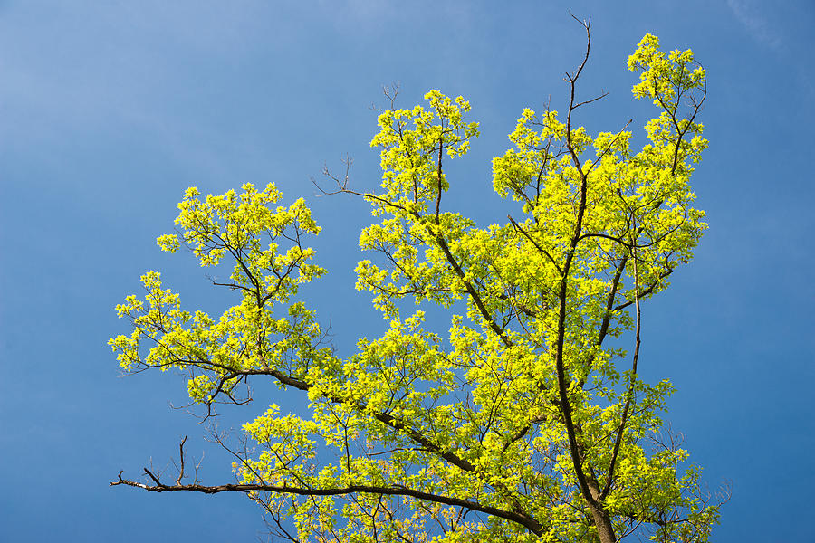 Bright Green Tree And Blue Sky - Colors Of Early Spring Photograph