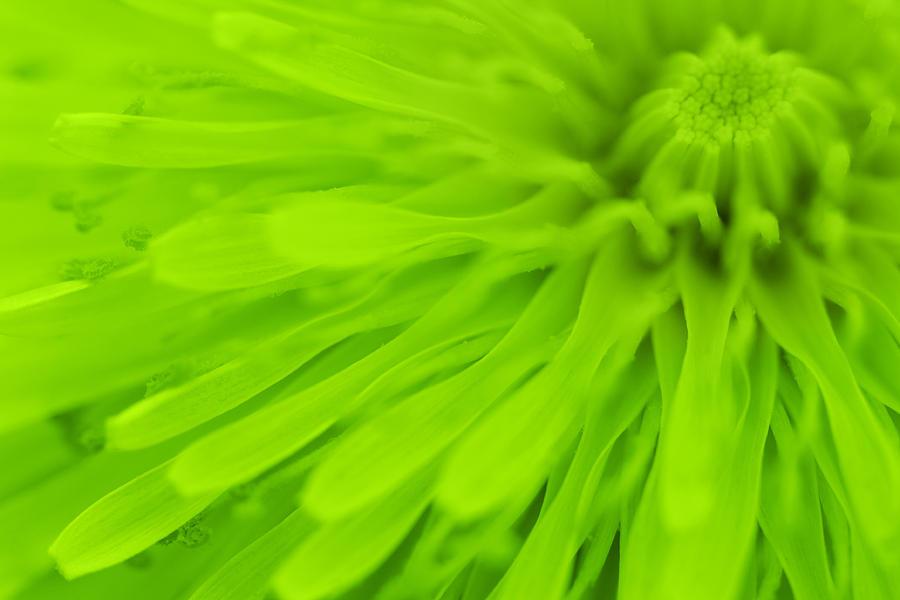 Print Photograph - Bright Lime Green Dandelion Close Up by Natalie Kinnear