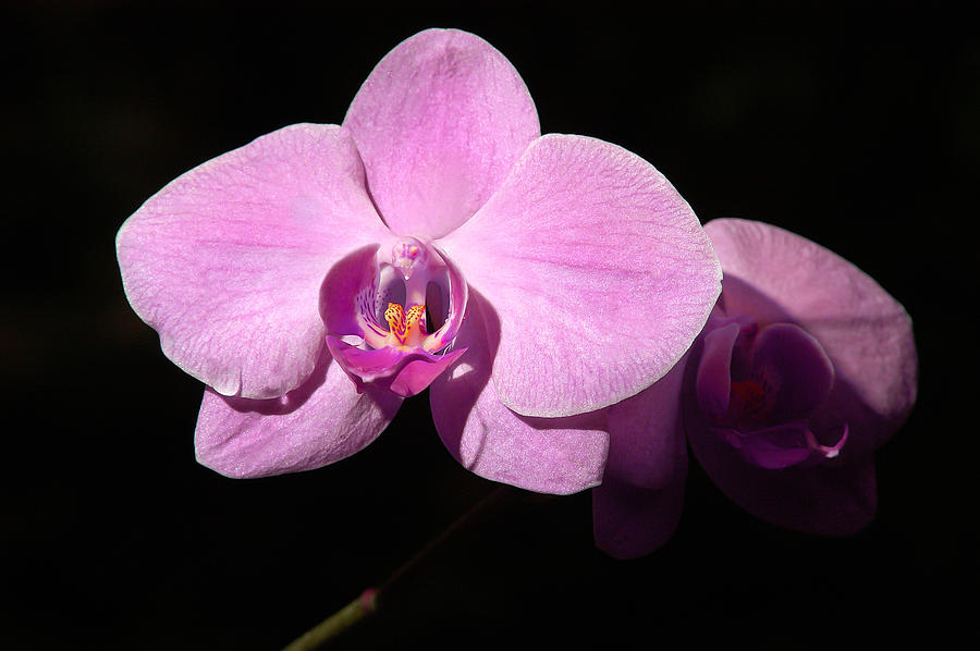Phalaenopsis Photograph - Bright Orchid by Penny Lisowski