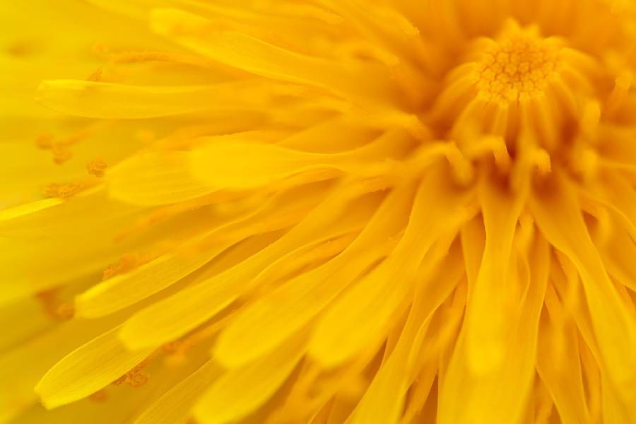 Wall Art Photograph - Bright Yellow Dandelion Flower by Natalie Kinnear