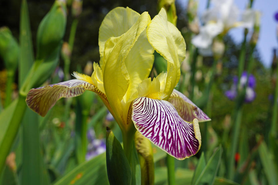 bright yellow purple iris flower irises photograph by baslee troutman, Natural flower