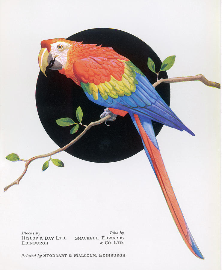 Bright Drawing - Brightly Coloured Parrot          Date by Mary Evans Picture Library