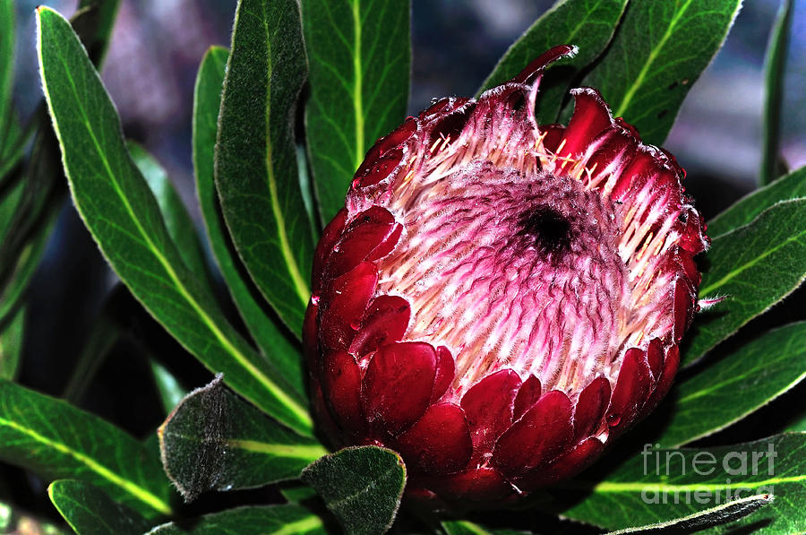 Protea Photograph - Brightnhappy Protea by Kaye Menner