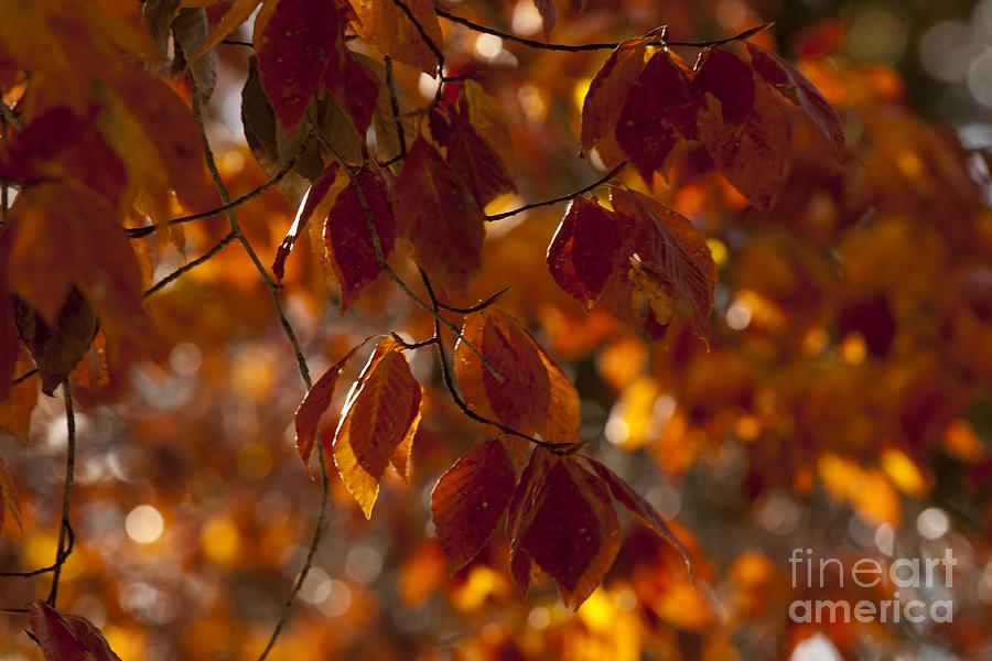 2013 Photograph - Brilliant Autumn Beeches by Lauren Brice