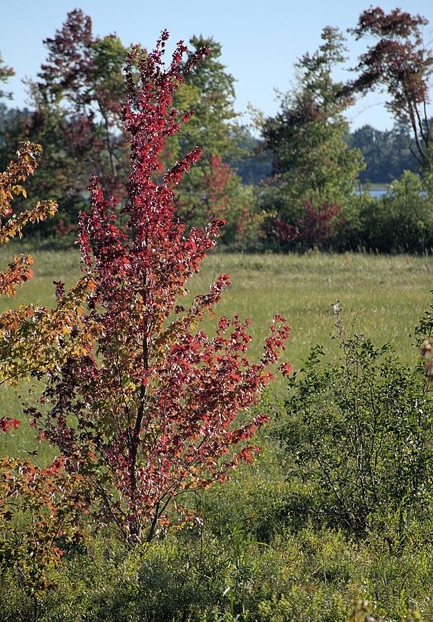 Red Photograph - Brilliant Autumn Red by Andrew Miles