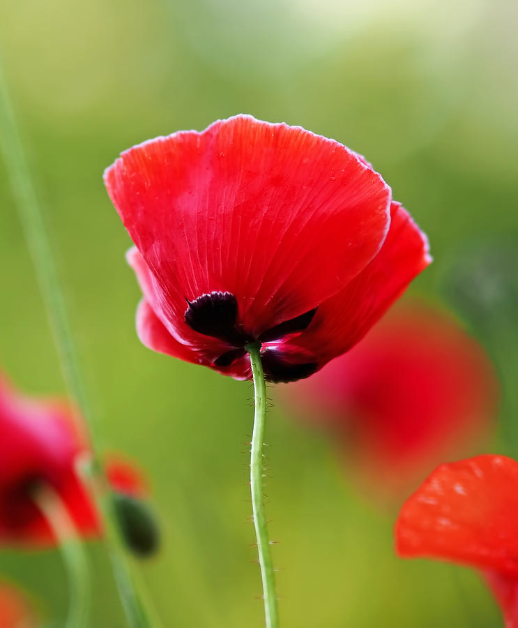 Brilliant red poppy flower photograph by rona black poppy photograph brilliant red poppy flower by rona black mightylinksfo