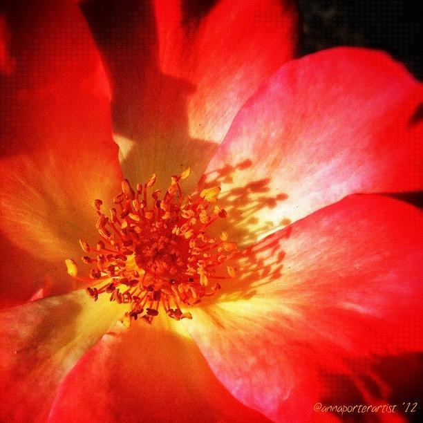 Flower Photograph - Brilliant Summer Rose by Anna Porter
