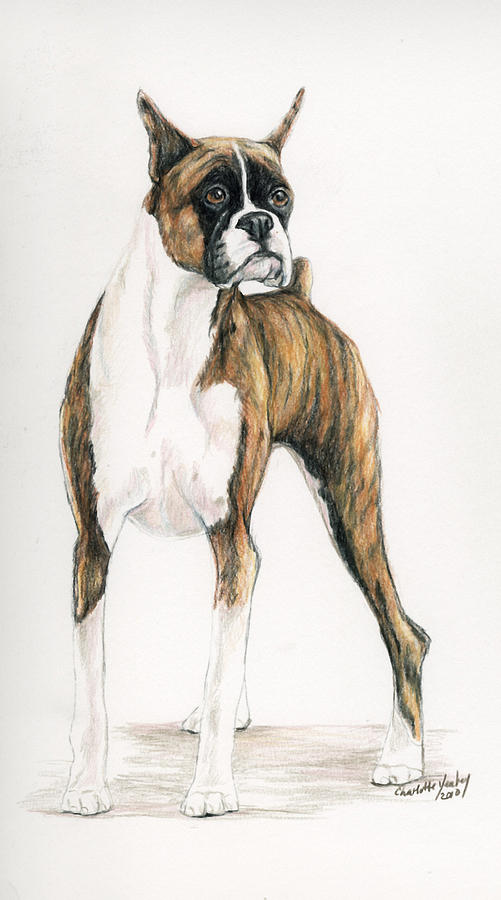 Pet Drawing - Brindle Boxer by Charlotte Yealey