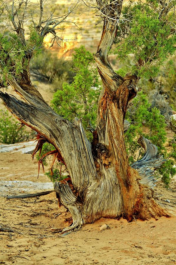 Tree Photograph - Bristlecone 1 by Marty Koch