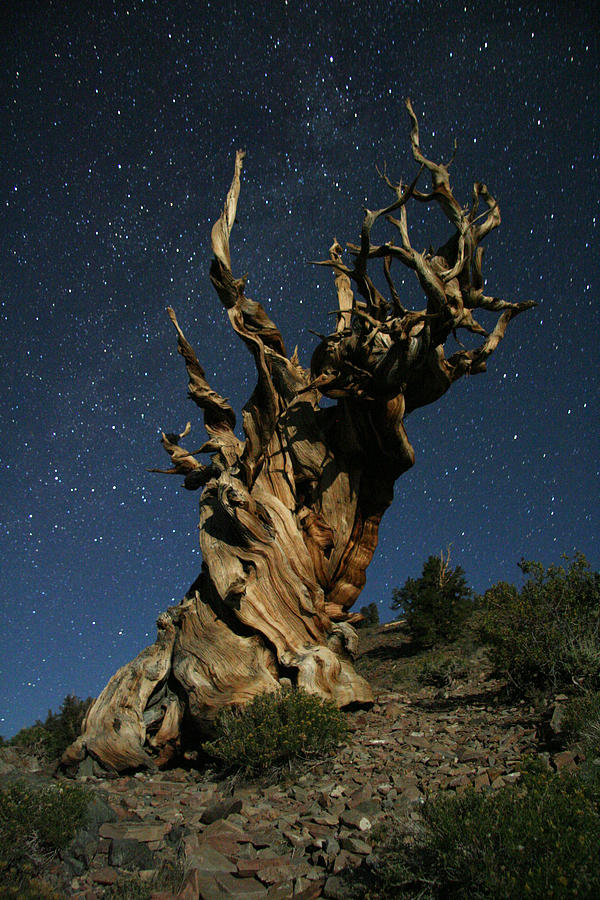 Bristlecone Photograph - Bristlecone By Moonlight by Karen Lindquist