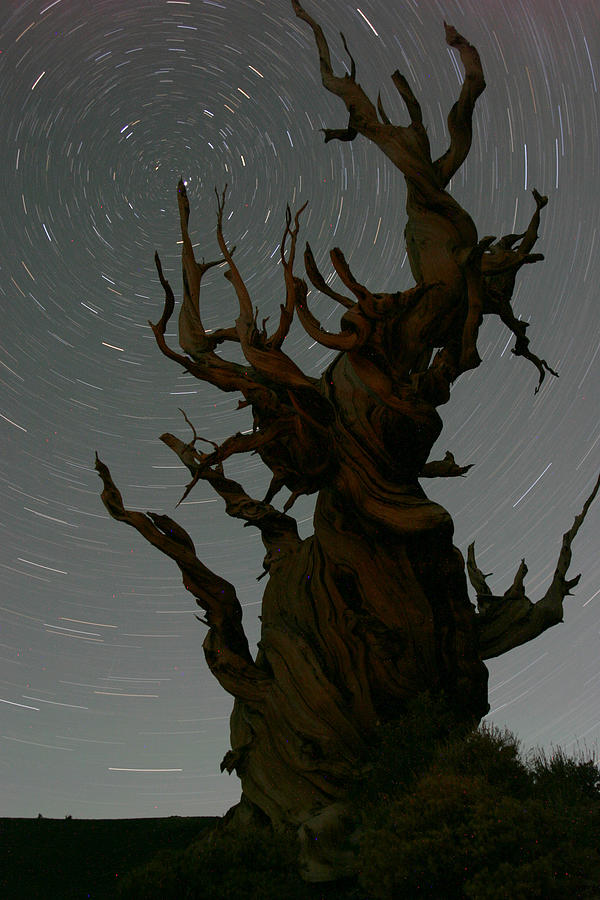 Bristlecone Photograph - Bristlecone With Star Trails by Karen Lindquist